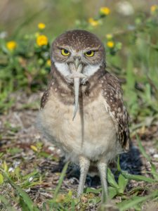 A burrowing owl eating a gecko _ Andrew Mease